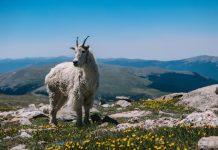 hadis kambing dari syurga